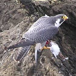 peregrin falcon with dinner -- photo by Sienna M Potts, Caspar Headlands, 11 December 2004