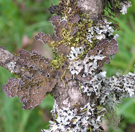 lichen along the riverwalk path in Corvallis, Oregon