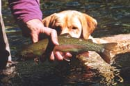 my pup Iverson sniffing at a rainbow trout on the Skagit River in British Columbia -- photo by Sienna